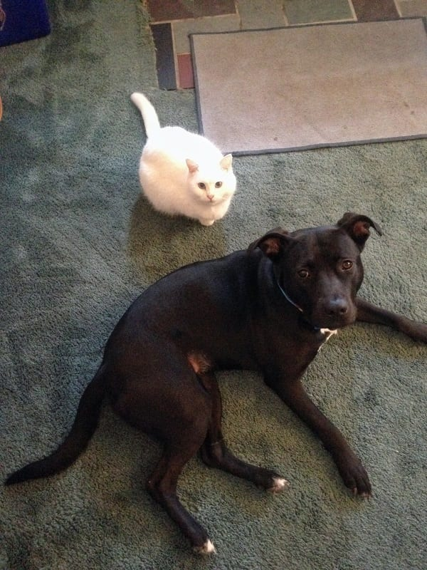 black dog and white cat